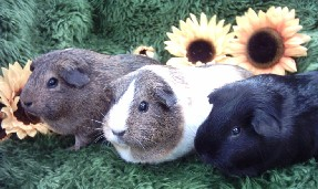 Guinea pigs in the grass