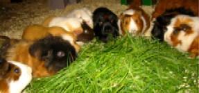 Cavia's aan het gras